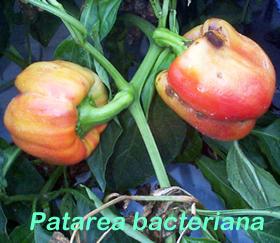 Patarea-bacteriana