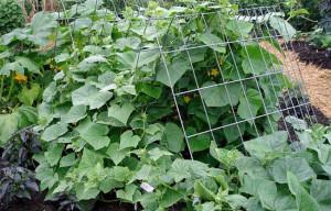 castraveţi în grădină