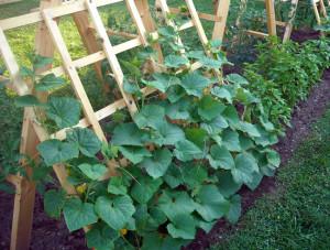 cultivare castraveţi în grădină
