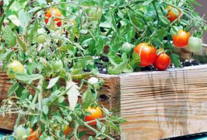 cultivare legume pe spatii mici