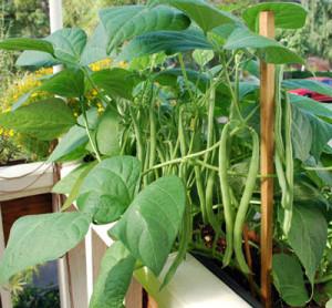 cultivarea fasolei pe balcon