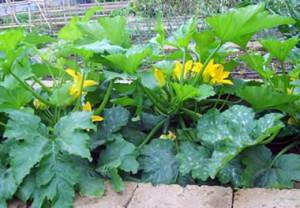 dovlecei în grădină
