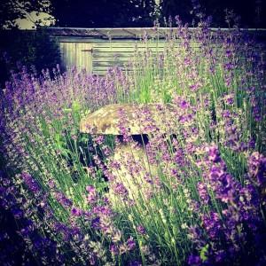 lavandă în grădină