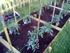 cultivarea legumelor pe straturi înălţate